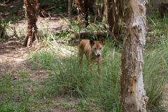Dingo, Australischer Wildhund, Berry Wildlife, NT AUS