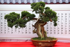 Bonsai, Jianshui CN